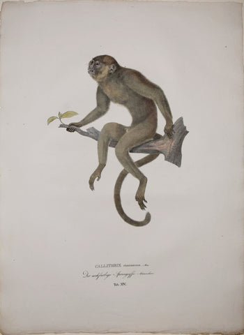 Johann Baptist von Spix (1781-1826), author, Plate XIV, Callithrix cinerascens (The Red or Red Bellied Titi)