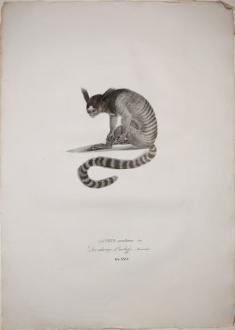 Johann Baptist von Spix (1781-1826), author, Plate XXVI, Iacchus penicillatus (The Black-Tufted Marmoset)
