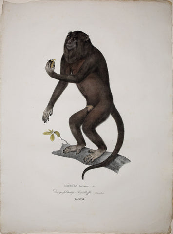 Johann Baptist von Spix (1781-1826), author, Plate XXXII, Mycetes barbatus (The Black Howler)