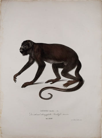 Johann Baptist von Spix (1781-1826), author, Plate XXXIV, Mycetes discolor (The Red Handed Howler)