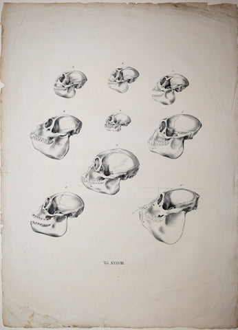 Johann Baptist von Spix (1781-1826), author, Plate  XXXVIII, [Various Skulls of Monkeys]