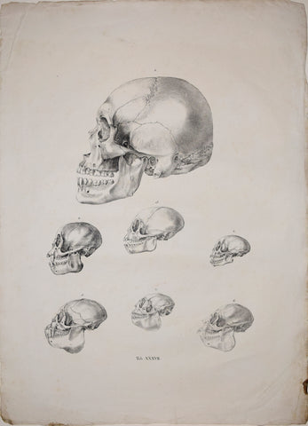 Johann Baptist von Spix (1781-1826), author, Plate XXXVII, [Various Skulls of Monkeys]