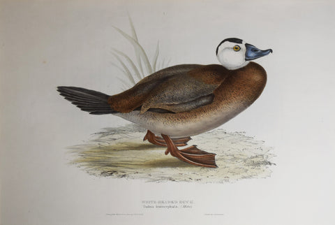 John Gould (1804-1881), White-Headed Duck