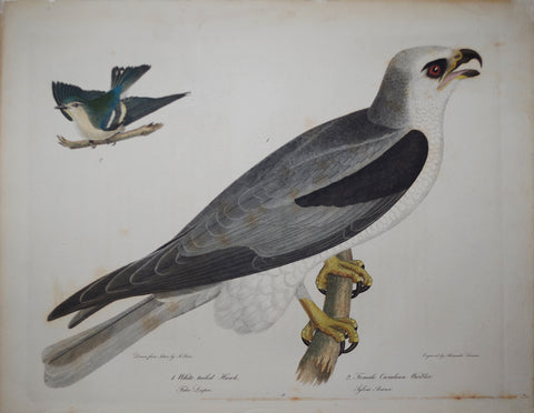 Alexander Wilson (1766-1813), White Tailed Hawk