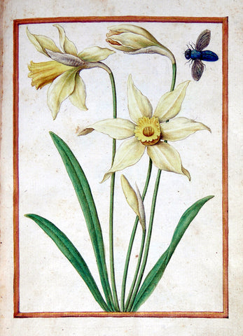 Jacques le Moyne de Morgues (French, ca. 1533-1588), Wild Daffodil and insect