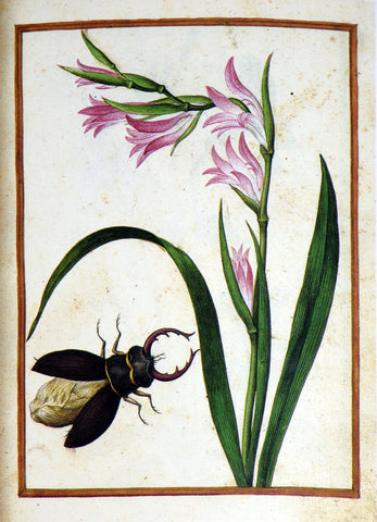Jacques le Moyne de Morgues (French, ca. 1533-1588), Wild Gladiolus and stag beetle