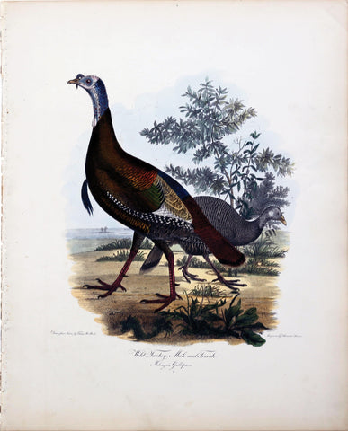 Alexander Wilson ( 1766-1813), Wild Turkey, Male and Female
