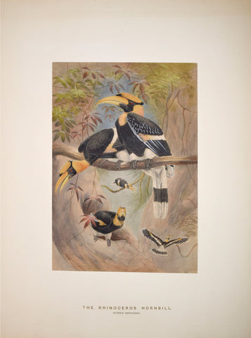 Joseph Wolf (1820-1899), The Rhinoceros Hornbill