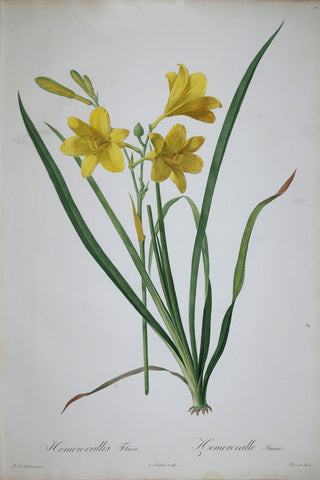 Pierre Joseph Redouté (1759-1840), Yellow Day Lily, Plate 15