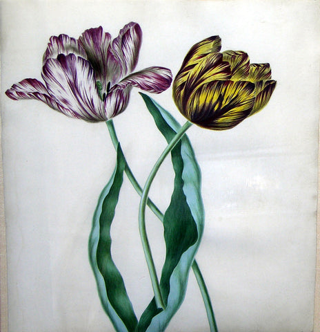 Anonymous, Study of Two Tulips