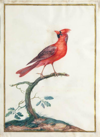Claude Aubriet (French, 1665-1742), Male Northern Cardinal