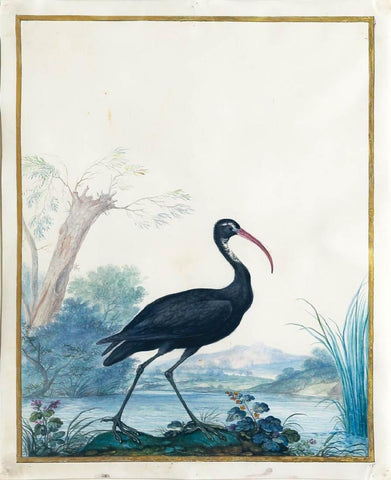 Claude Aubriet (French, 1665-1742), Glossy Ibis