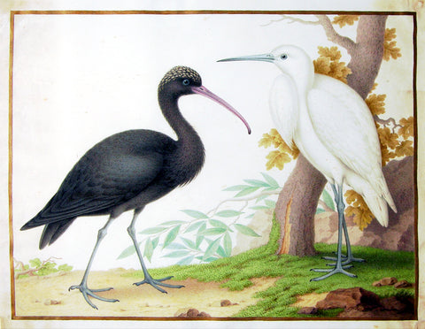 Claude Aubriet (French, 1665-1742), Untitled [Glossy Ibis and Egret]