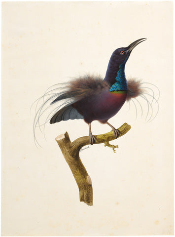 Jacques Barraband (French, 1767-1809), Magnificent Riflebird (Ptiloris Magnificus)