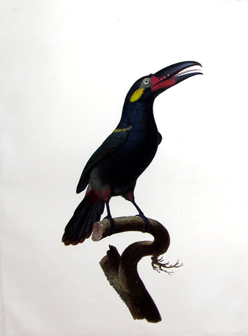 Jacques Barraband (French, 1767-1809), The Male Gianan Toucanet (L'Aracari Koulik de la Guyane)