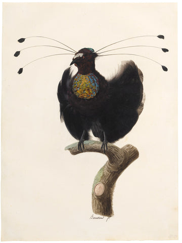 Jacques Barraband (French, 1767-1809), Western Parotia Bird Of Paradise (Parotia Sefilata)