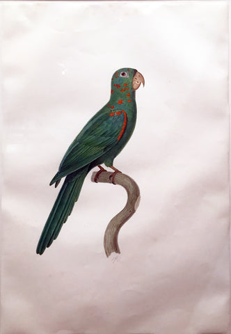 Attributed to Jacques Barraband (French, 1767-1809), White eyed parakeet (Psittacara leucophthalmus)