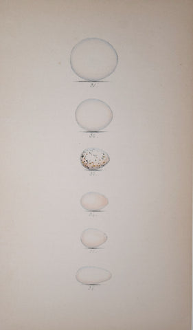 Henry Leonard Meyer (1797-1865), Roller, Bee Eater, Swallow, Martin, Sand-Martin and Swift Eggs