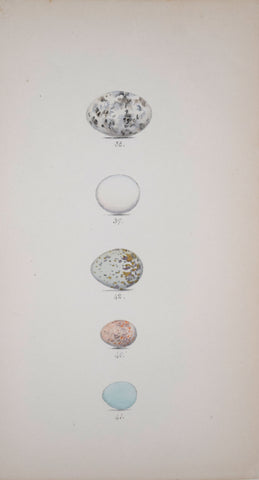 Henry Leonard Meyer (1797-1865), Nightjar, Kingfisher, Ash colored Shrike, Spotted Fly Catcher and Pied Fly Catcher Eggs