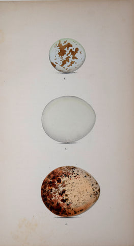 Henry Leonard Meyer (1797-1865), Sparrow-Hawk, Goshawk, and Osprey Eggs
