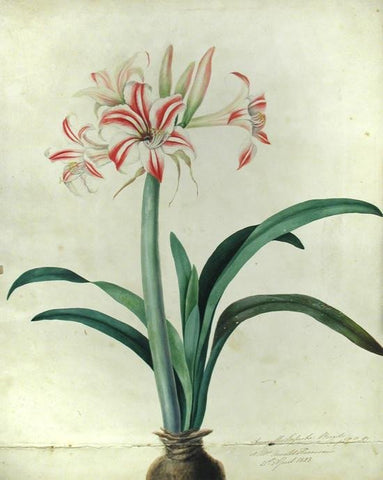 Priscilla Susan Falkner Bury (British, 1799–1872), Amaryllis Superba. Brazil (imported bulb) at Mrs. Arnold Harrison's 21st April, 1828.