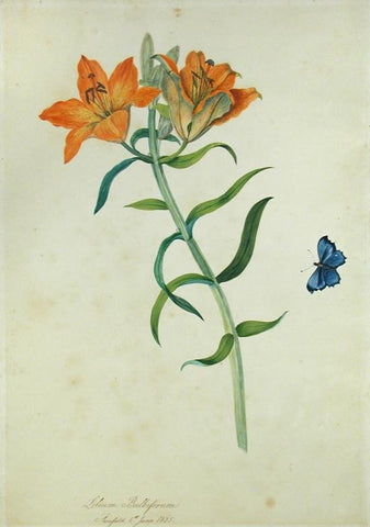 Priscilla Susan Falkner Bury (British, 1799–1872), Lilium Bulbiferum. Fairfield, 6th June, 1825.