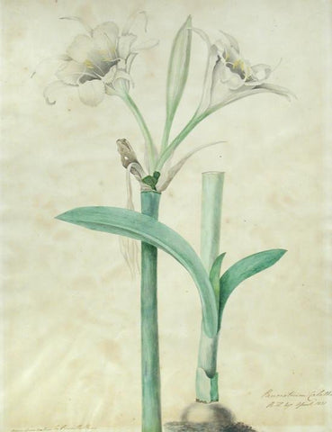 Priscilla Susan Falkner Bury (British, 1799–1872), Pancratium Calathinum. R.H. Esq. April 1831.