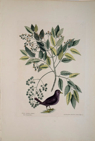 Mark Catesby (1683-1749), T26-The Ground Dove