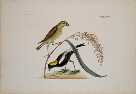 Mark Catesby (1683-1749), T14-The Rice Bird