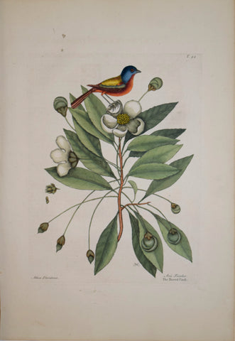 Mark Catesby (1683-1749), T44-The Painted Finch