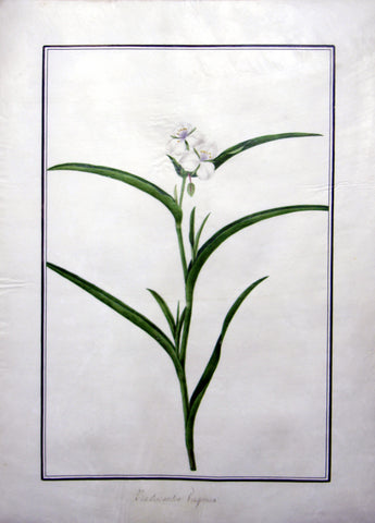 "Baldassare Cattrani (Italian, FL. 1776-1810), 24. ""Tradescantia Virginia"" (Dayflower, Spiderwort)"
