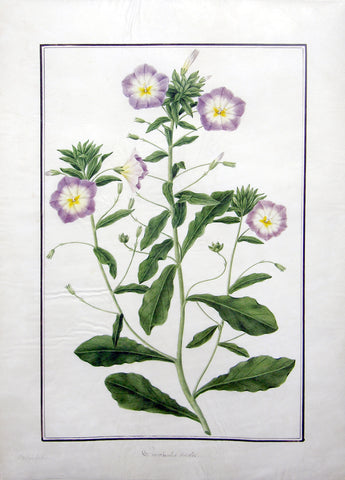 "Baldassare Cattrani (Italian, FL. 1776-1810), 4. ""Convolutus tricolor"" Blue Ensign Dwarf Morning Glory"