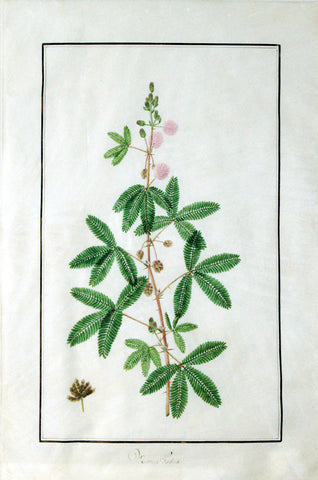 "Baldassare Cattrani (Italian, FL. 1776-1810), ""Mimosa Pudica"" (Common Sensitive Plant)"