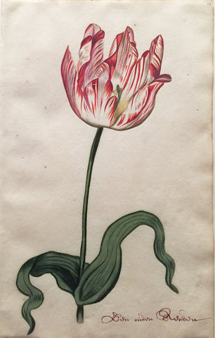 School of Anthony Claesz II (Dutch, 1607-1649), Tulip Study, Don ondon Rusidon