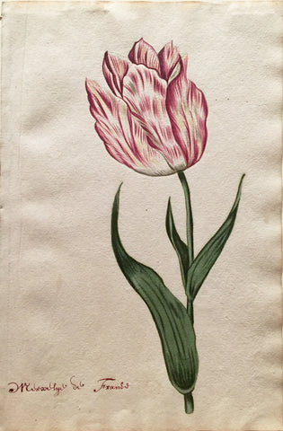 School of Anthony Claesz II (Dutch, 1607-1649), Tulip Study, Mirsalye de Frands