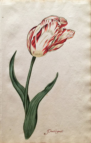 School of Anthony Claesz II (Dutch, 1607-1649), Tulip Study, Portugaul