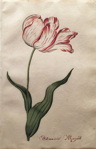 School of Anthony Claesz II (Dutch, 1607-1649), Tulip Study, Rloscandos Magnus