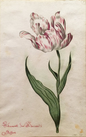 School of Anthony Claesz II (Dutch, 1607-1649), Tulip Study, Ronnell sux Sonnadts Dalfores