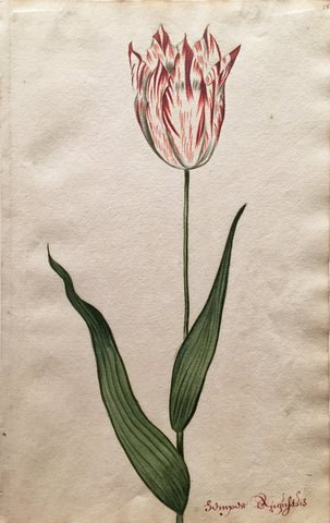 School of Anthony Claesz II (Dutch, 1607-1649), Tulip Study, Sumyasr Rugnftus