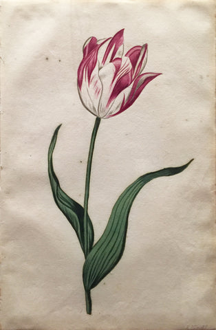 School of Anthony Claesz II (Dutch, 1607-1649), Tulip Study