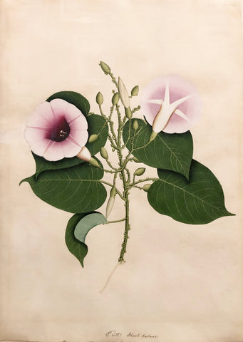 Company School, Dhool Kulmee [Clove Bean Calonyction Muricatum Ipomoea Muricata Purple Moonflower]