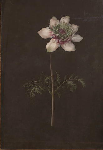 Barbara Regina Dietzsch (German, 1706-1783), Anemone and Fly