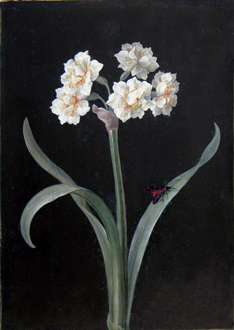 Barbara Regina Dietzsch (German, 1706-1783), White Narcissus