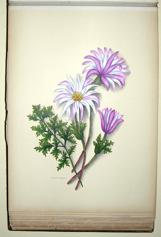 Ethel May Dixie (1876-1973), A Botanical album of South African Flowers.