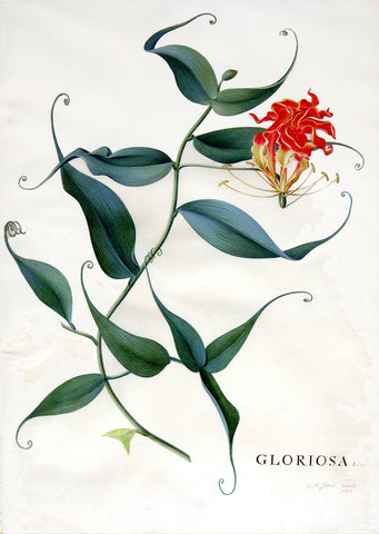 Georg Dionysius Ehret (German, 1708-1770), Gloriosa Linn.