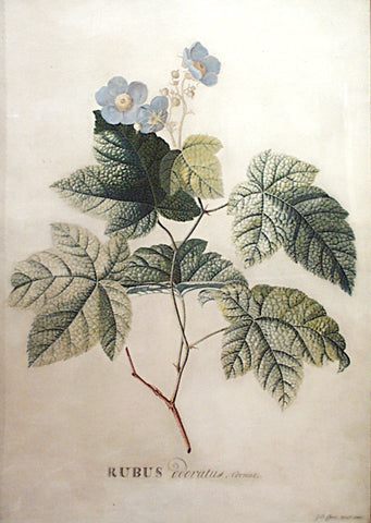 Georg Dionysius Ehret (German, 1708-1770), Rubus odoratus, Cornut (Purple-flowering Raspberry, Flowering Raspberry, or Virginia raspberry)