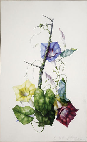 Charles Empson (British, 1794-1861), Colvolvu - Manio Of Luxae, South America (Morning Glory)