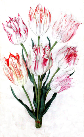 Johann Thomas Fischer (German, 1603-1685), Parrot Tulips with a Spider's Web