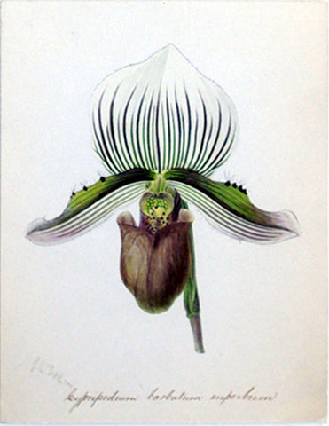 "Walter Hood Fitch (British, 1817-1892), ""Leypripedium barbatum superbum"""