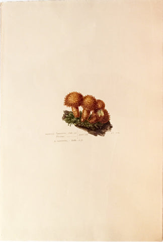 Edward Forster, the Younger (British, 1765-1849), Agaricus Squamonis
